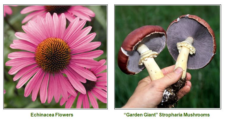 photo - echinacea and mushrooms